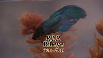 TMZ's Ribeye -- Swimming With the Fishes After Funeral Service