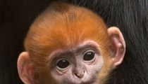 San Francisco Giants -- Zoo Names Good Luck Monkey After ...