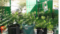 Heidi Fleiss Pot Bust -- Cops Confiscated a WEED JUNGLE [PHOTOS]