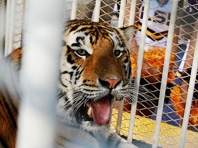 LSU's Mascot -- Mike the Tiger Dies ... After Cancer Battle