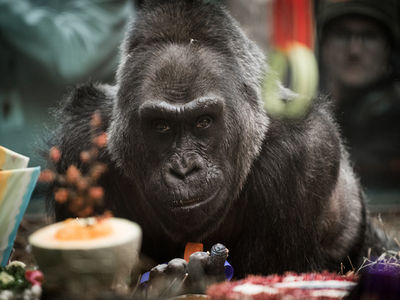 World's Oldest Gorilla on Record Colo Dead at 60