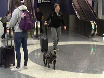 Carrie Fisher's Gary the Dog Arrives at LAX after Star Wars Celebration Panel (VIDEO)