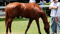 I'll Have Another -- Scratched from Belmont Stakes, NO TRIPLE CROWN!!!