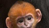 San Francisco Giants -- Zoo Names Good Luck Monkey After ...