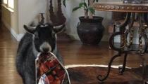 Wrestling Legend Goldberg -- My Pet Goat Is Ba-a-a-a-a-d