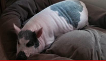 Yuma The Pig -- Porkly Pig Scores Book Deal ... But Must Lose Weight First