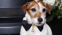 Uggie the Dog Dies -- 'The Artist' Star Put to Sleep After Prostate Illness