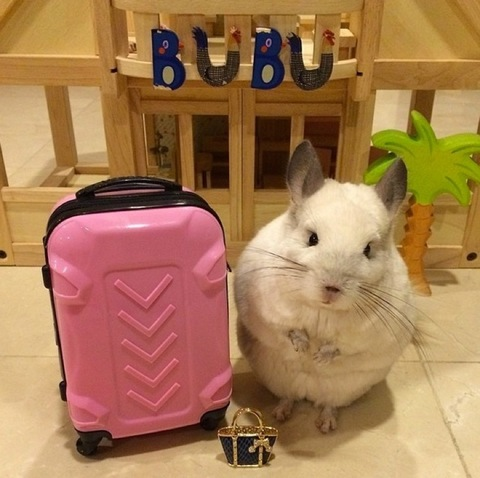 "<span>Is there anything cuter than a chinchilla posing with miniature props to imitate human hobbies? We didn't think so. Check out the photos of </span><a href=""https://instagram.com/cute_bubu/"" target=""_blank""><span>@Cute_BuBu</span></a><span>, the charming chinchilla, doing what she does best.</span><span><br /></span><span></span>"
