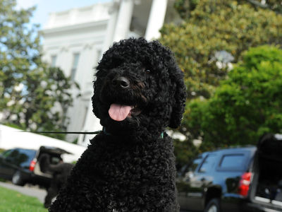 Obama Dog Sunny Has Bite, But NO History Of Aggression