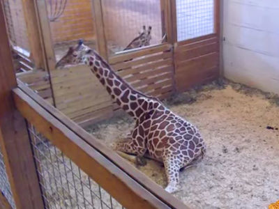 April the Giraffe, Big Money Now on the Line
