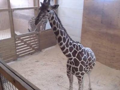 April The Giraffe Post Birth ... WATCH LIVE!!! (LIVE STREAM)