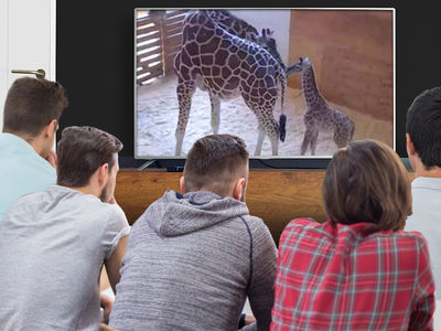 April the Giraffe's Baby Birth Live Stream By the Numbers