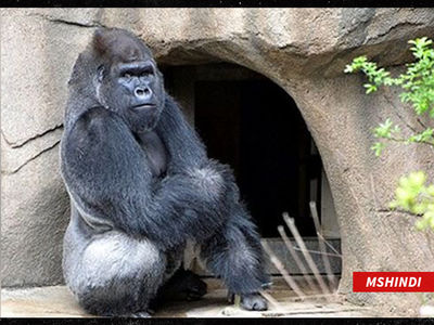 Cincinnati Zoo Welcomes First Gorilla since Harambe