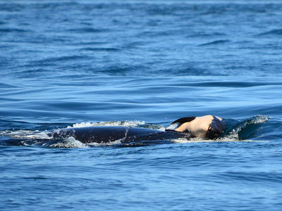 Grieving Killer Whale Finally Drops Body of Dead Baby Calf 17 Days Later