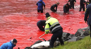 Vile, Disgusting, Shocking Dolphin Kill on the Faroe Islands