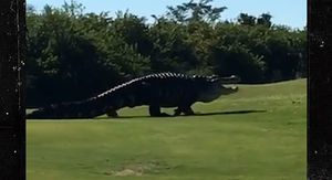 Famous Giant Gator Returns to Florida Golf…