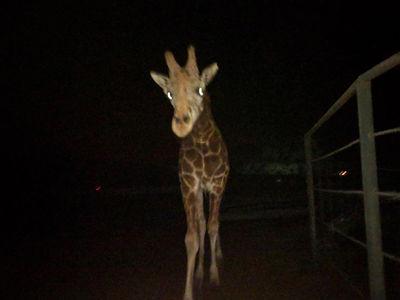 Stanley the Giraffe is Doing Fine, But PETA Furious at Malibu Wine Safaris