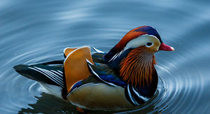 NYC's Famous Mandarin Duck Being Monitored By Central Park Rangers This Winter