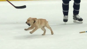 St. Louis Blues Puppy Practices With Team, Most Adorable Skate Ever!!!