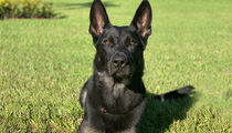 Police Dog Dies in Line of Duty on Xmas Eve, Saves Cops' Lives
