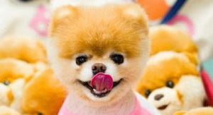 Boo The Pomeranian 'World's Cutest Dog' Dies